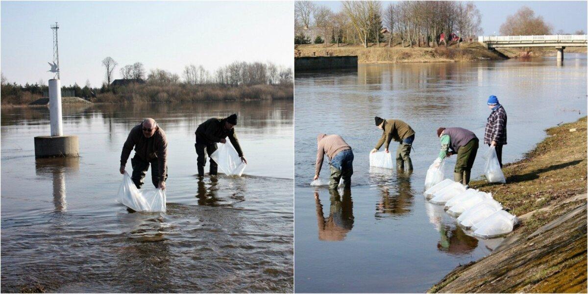 Žuvininkystės tarnybos Rusnės poskyrio specialistai atlieka vėgėlių įveisimo darbus
