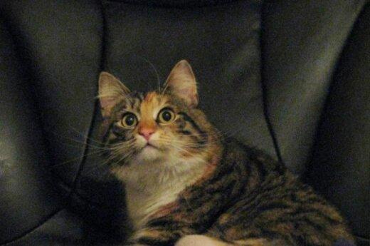 Nuostabaus charakterio trikojė katytė ieško namų!