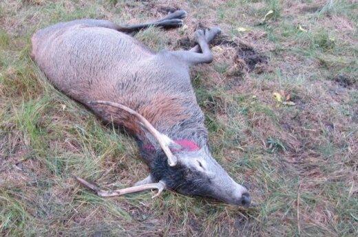 Medžiotojas nespėjo įsižiūrėti, kad elnias - vieneriais metais vyresnis, nei leidžiama medžioti