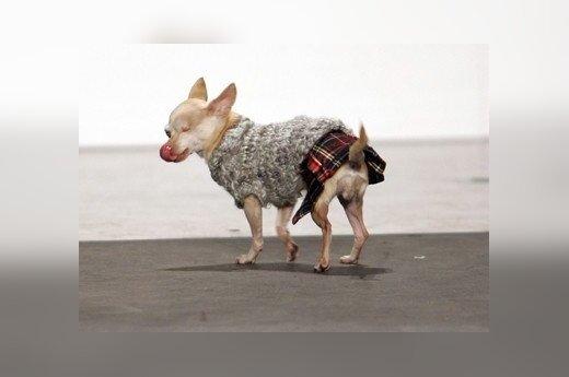 """Niujorke vykstančiame madų šou """"Apsirengęs kiltu"""" (škotišku sijonėliu) dalyvauja netgi mažas šunelis."""