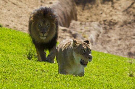 Zimbabwe: Atak stada lwów podczas seksu