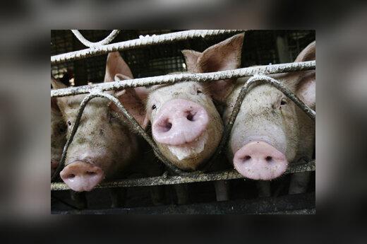 Kiaulės, paršai, tvartas
