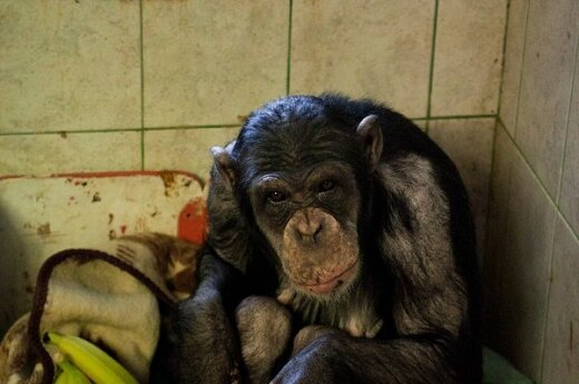 Шимпанзе Регину освободили из карцера