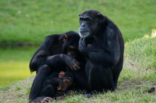 Tam tikros beždžionės turi teisę saugoti šeimą nuo konfliktų