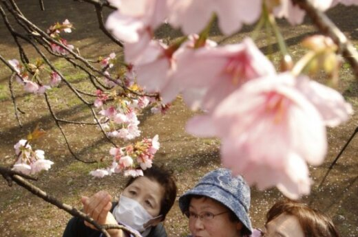В Японии - праздник цветения сакуры