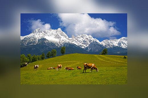 Austrija, Alpės, karvės