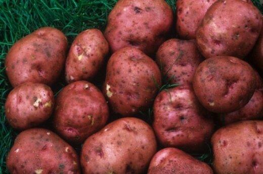 Россия вынужденно закупит 4 млн. тонн картофеля