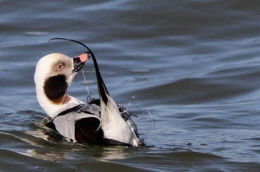 Ledinė antis įsipainiojusi žvejų tinkluose / J. Morkūno nuotr.