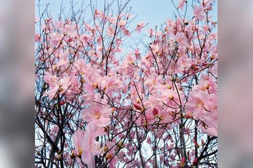 Japoniškas sodas, sakura