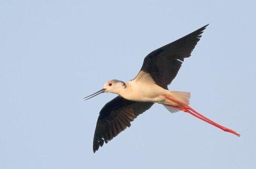 Lietuvoje kojūkai, Pietų kraštų paukščiai, perėjimo metą stebimi pirmąkart