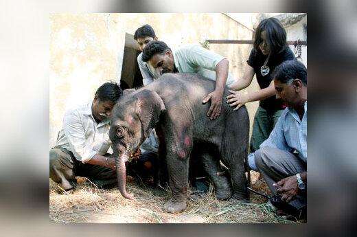 Zoologijos sodo darbuotojai rūpinasi kątik gimusiu drambliuku