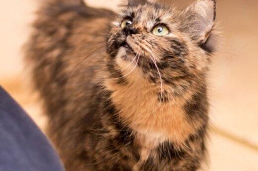 Dovanojama labai miela marmurinė katytė Šiurpytė