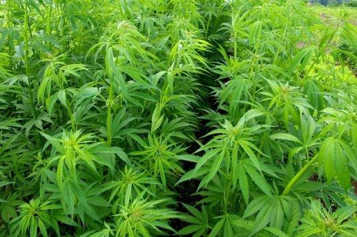 Urugwaj: Rząd będzie sprzedawał marihuanę