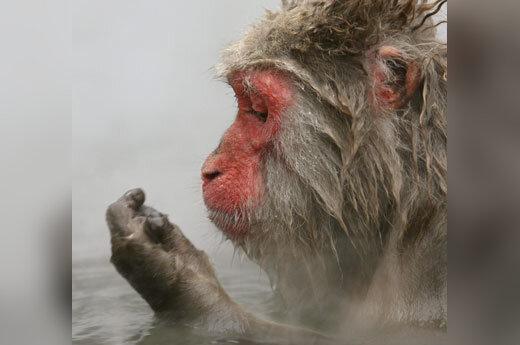 Laukinė beždžionė mėgaujasi grynu oru Beždžionių parke, Japonijoje.