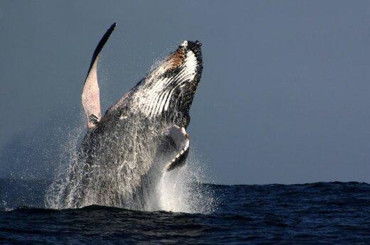 Australia: Mężczyzna dostał mandat za jazdę na wielorybie
