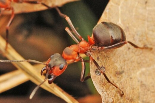 Juodoji miško skruzdėlė