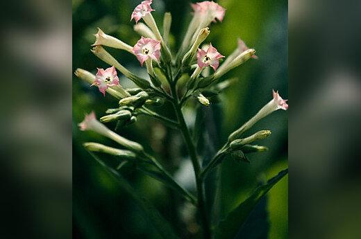 Gėlės, žydintis tabakas