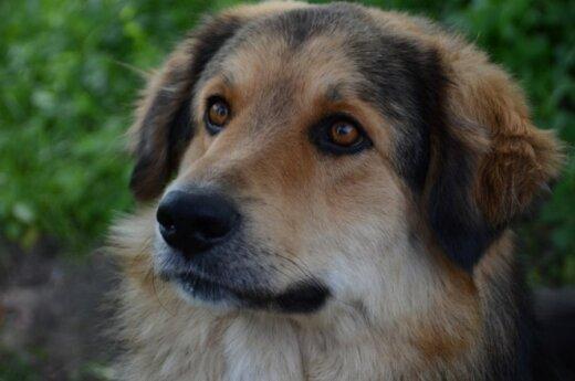 Įspūdingo grožio šuo Meška ieško naujų namų
