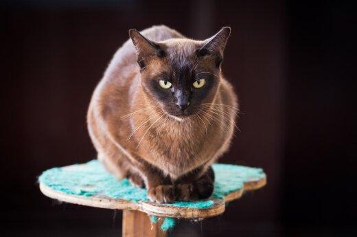 Burmilos katė