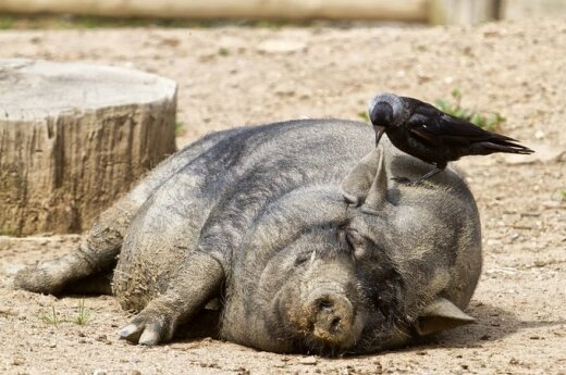 Izrael: Koniec ze świniami?