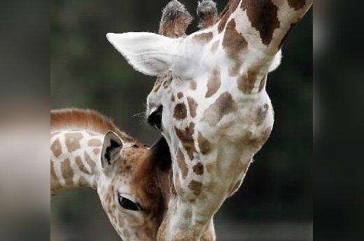 В Литве запретят держать дома жирафов и каролинских белок