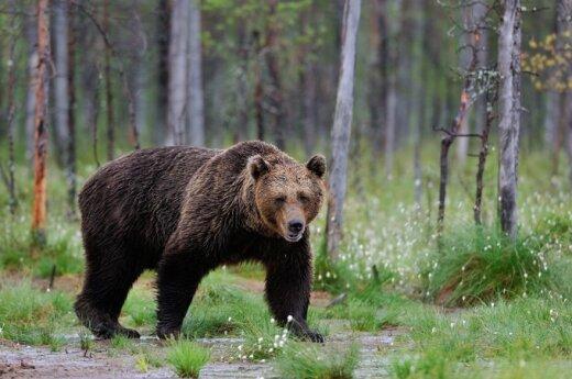Niedźwiedź brunatny błądzi w okolicach Święcian