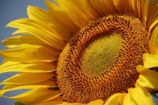 Milžiniška saulėgrąža aukščiu lenkia du A. Sabonius