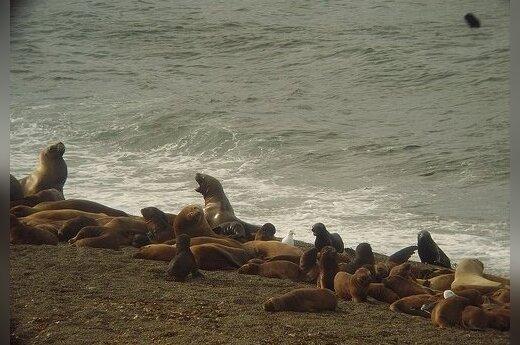 Тысяча детенышей морских львов выбросилась на пляжи Калифорнии
