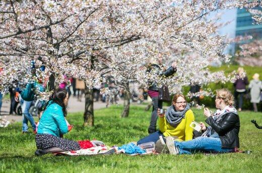 Japaese Sakuras bloomig in Vilnius in 2016