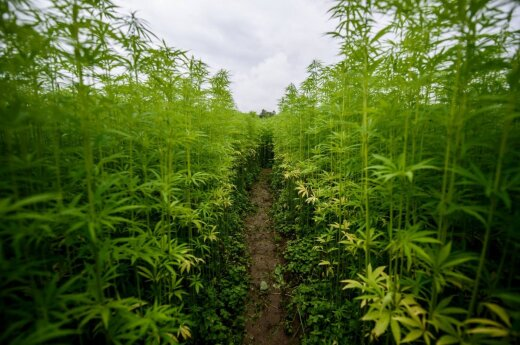 Cannabis labyrinth. Photo: facebook.com/kanapiuukis