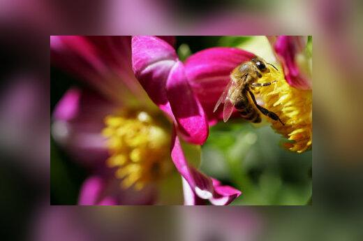 Bitė, gėlė, medus