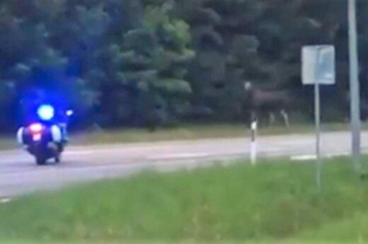 Клайпедские полицейские отгоняли от дороги лосей