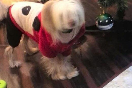 Dingo kinų kuoduotasis šuo