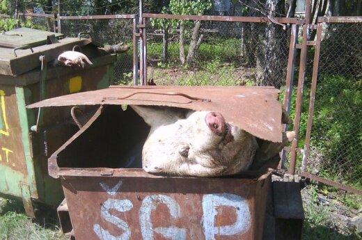 Martwe świnie w kontenerach na śmieci