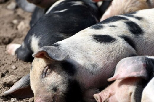 New African Swine Fever outbreak reported in eastern Lithuania