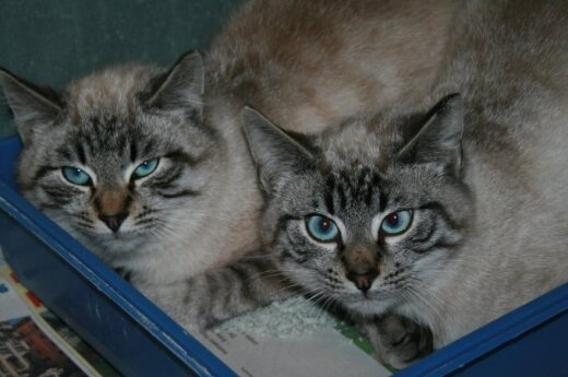Du vienodi kačiukai ieško namų