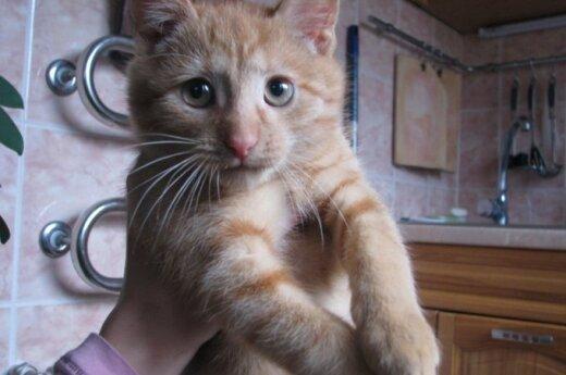 Žavingas ir draugiškas katinėlis Apelsinas ieško namų!