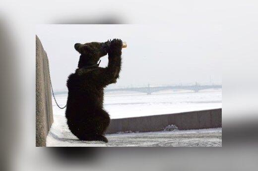 Norwegia: Do domu wdarły się niedźwiedzie i wypiły 100 puszek piwa