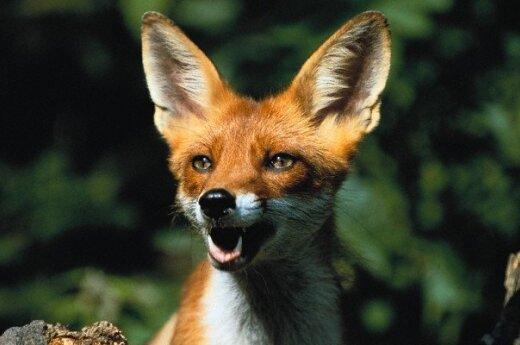В новосибирском зоопарке разлучили лисицу и петуха