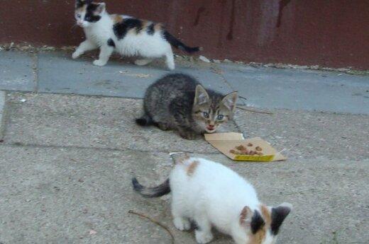 Skubiai ieškoma globa keturiems ryškiaspalviams kačiukams