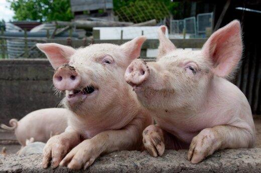 Afrykańska Świńska Dżuma: Zakaz importu białoruskiej wieprzowiny