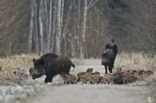 Two more cases of ASF detected in wild boars in Lithuania