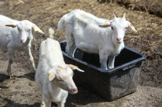 Agriculture minister suggests replacing pigs with goats in the wake of ASF