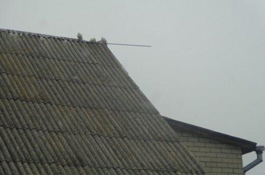 Pasiklydusius vestuvių balandžius aptiko ant kaimyno stogo
