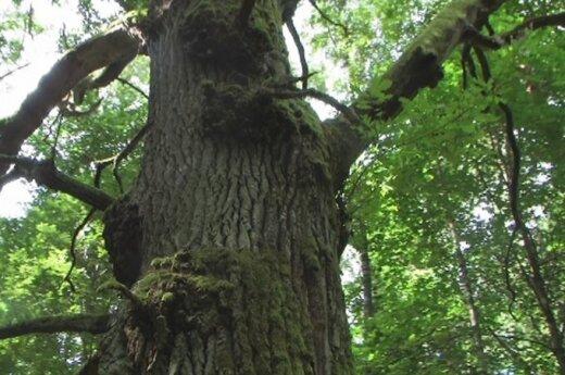 Į pagalbą skrandžiui – ąžuolo žievė