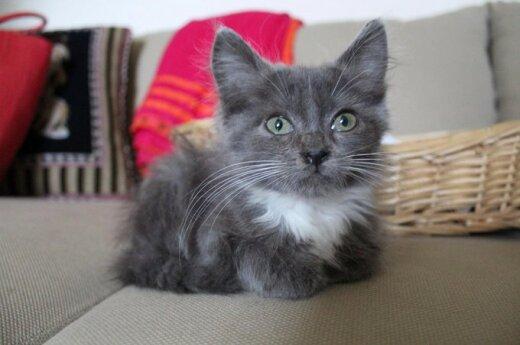 Mažam kilmingam kačiukui ieškome šeimininkų