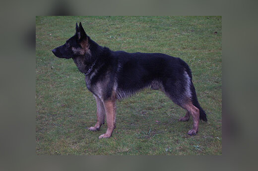 Pasieniečių šuo vokiečių aviganis Nordas