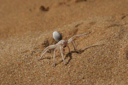 Яд паука – новое обезболивающее