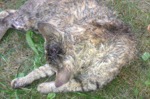 Vilniaus Naujamiestyje - baisus pavojus katėms