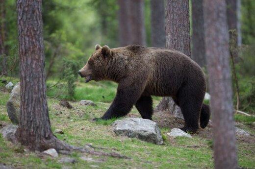 Российский медведь был в шоке от песни Джастина Бибера
